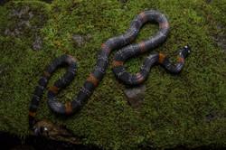 Micrurus elegans