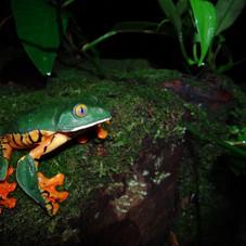 Sylvia's treefrog (Cruziohyla sylviae) C