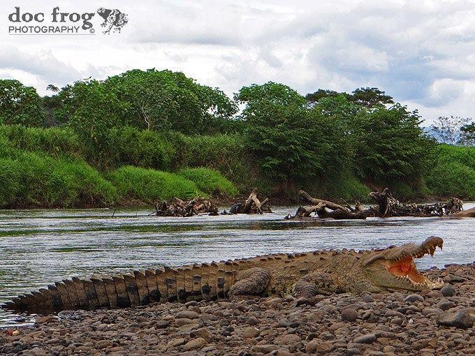 Crocodylus acutus2