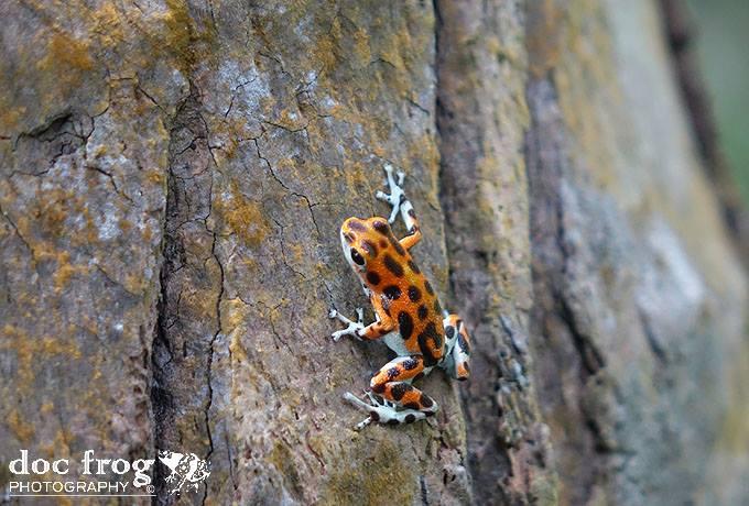 Oophaga pumulio Spots CRWILD