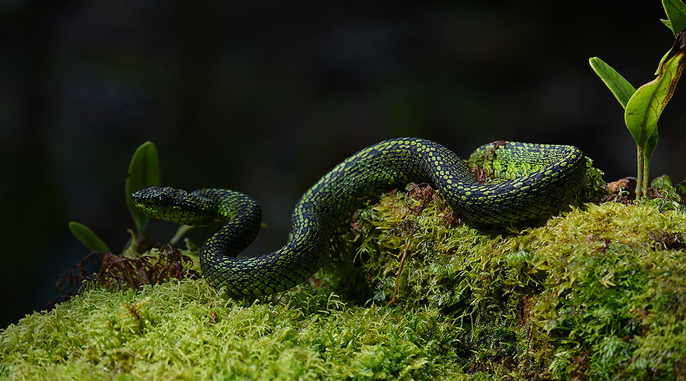 bothriechis nigroviridis.jpg
