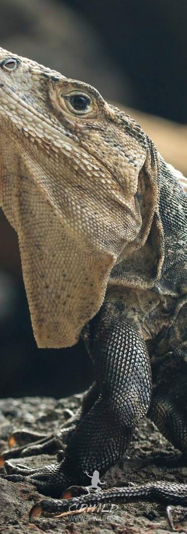 Ctenosaura similis wallpaper.jpg