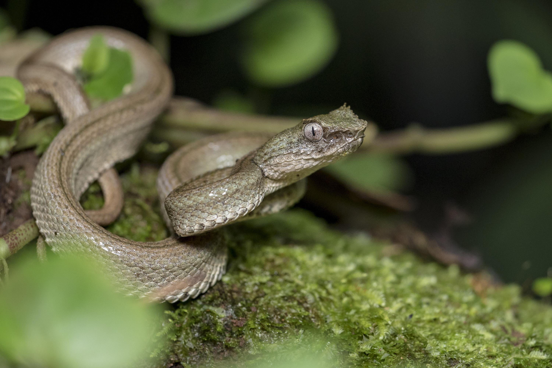 Bothriechis schlegelii