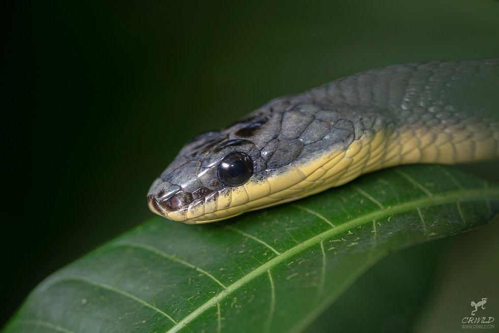 Phrynonax poecilonotus.jpg
