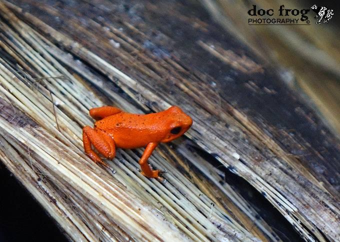 Oophaga pumulio Orange CRWILD