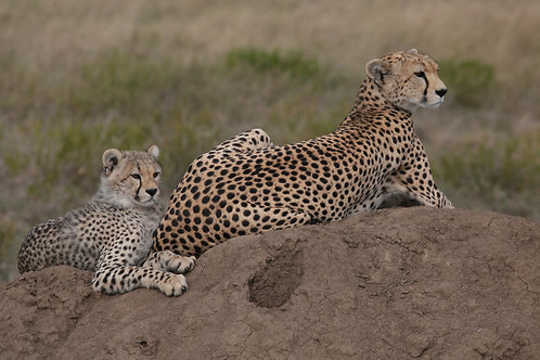 Mother and Cub Cheetah