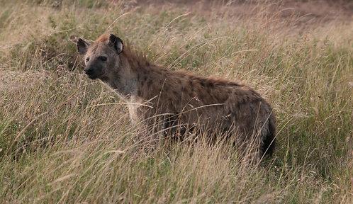 Serengeti Hyena