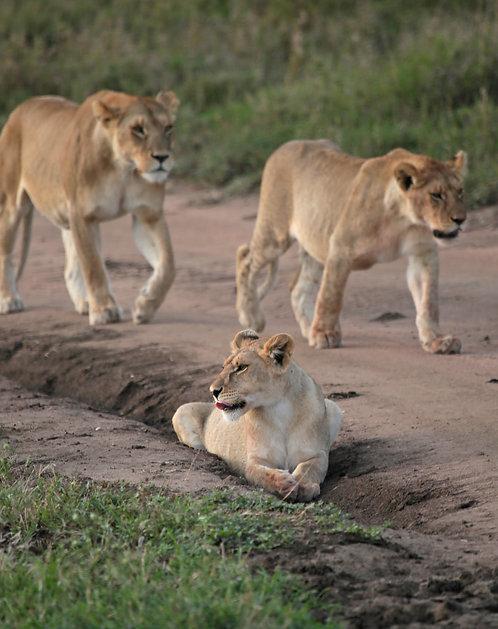 Trio of Lionesses