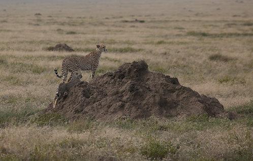 Mother and Cub Cheetah