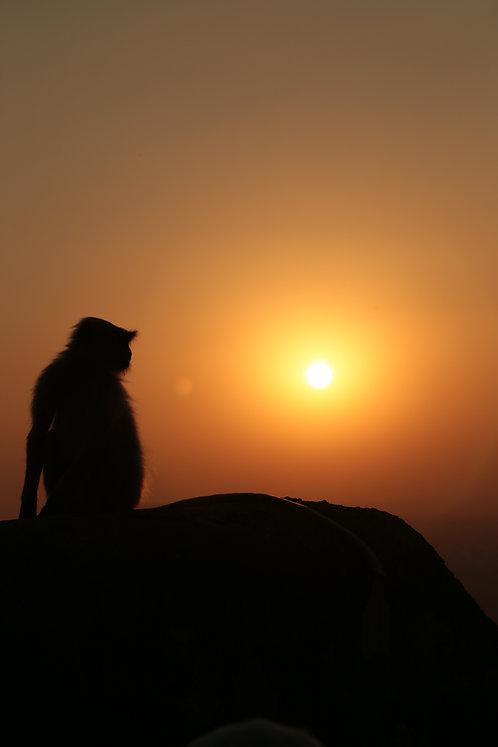 Indian Monkey and Sunset