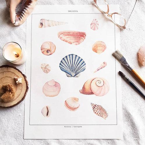 Mollusca