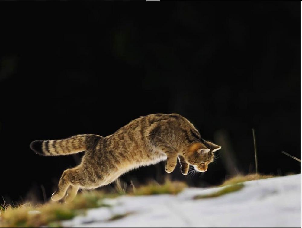 Дикая европейская кошка на охоте. Фото: Luc Brochard