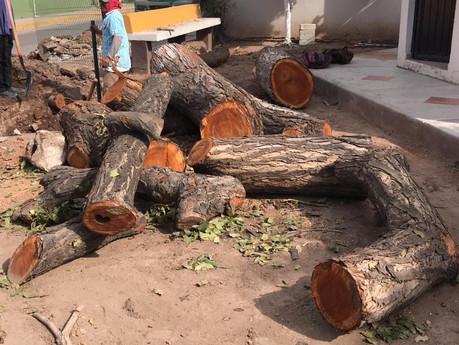 Talan antiguo árbol que se encontraba en Dif Municipal, su madera es consideraba valiosa