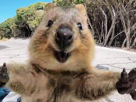 El animal mas feliz del mundo vive en Australia, es el Quokka