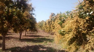 Reportan 60 por ciento menos de floración en arboles de mango
