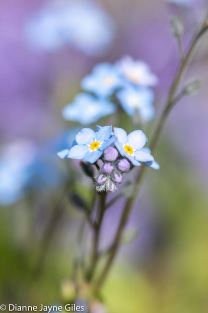 Forget Me Not (Ref: 5106)