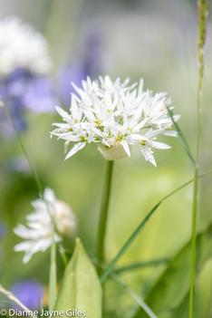 Wild Garlic (Ref: 5426)