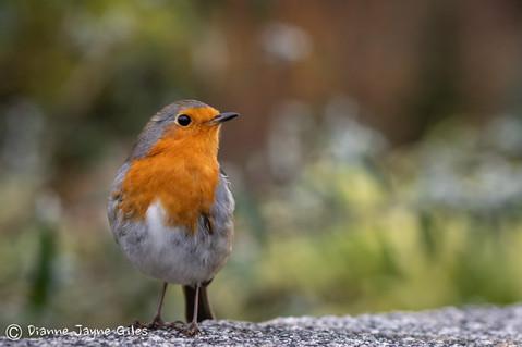 Bold Robin (Ref: 3901)