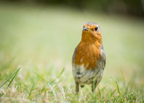 Friendly Robin - Abbey Gardens
