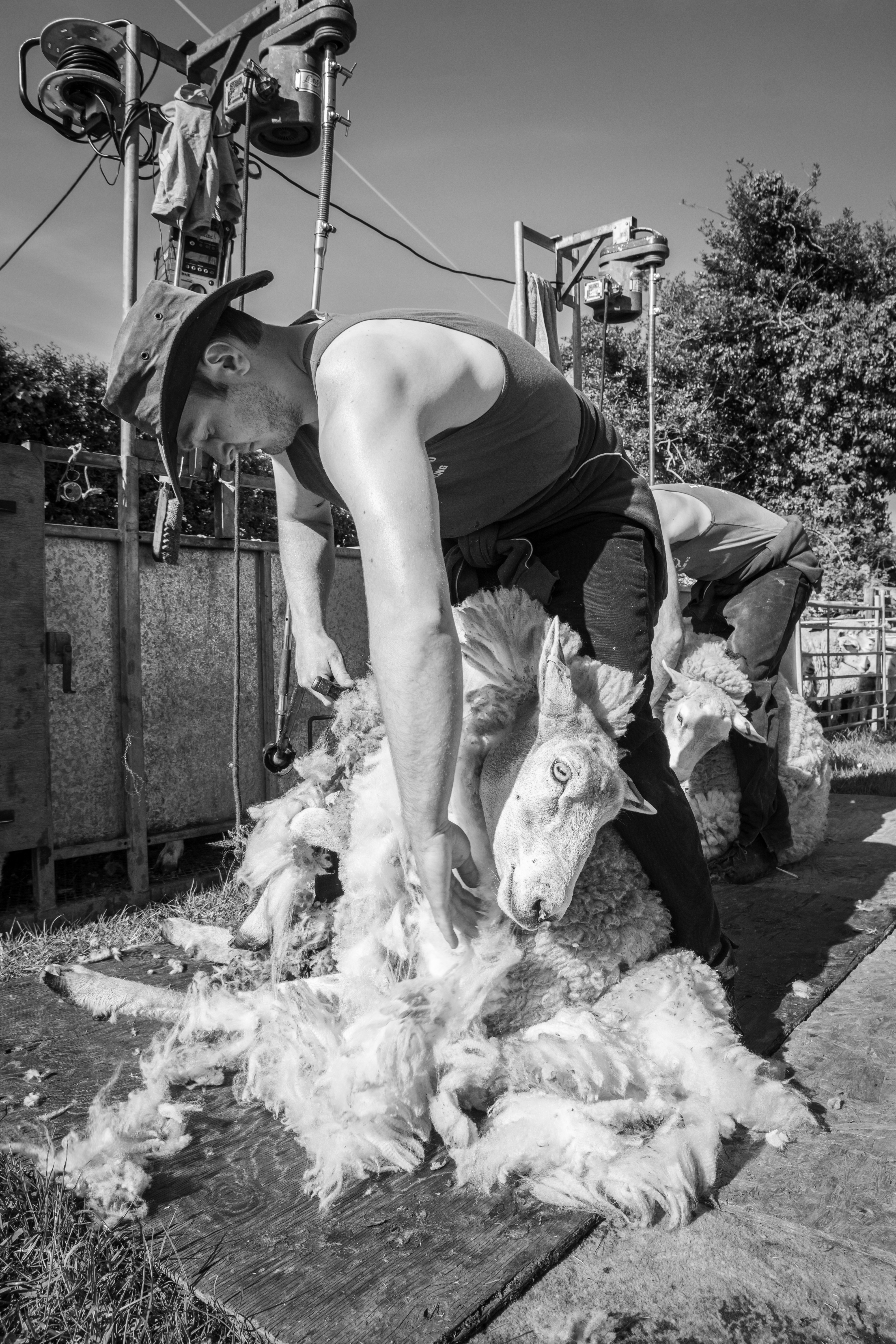 Ref 1180 Synchronised Shearing
