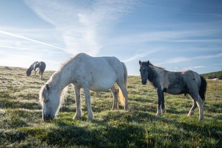 Sunlit Ponies (Ref: 5080)