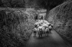 Ref: 2503 Sheep Jam