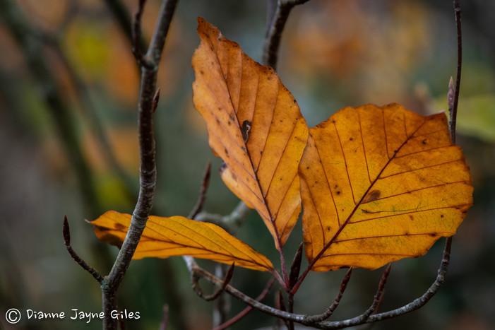 Autumn Leaf (Ref_ 3990)