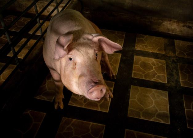Poor Pig