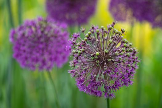 Alliums (Ref_ 2184)
