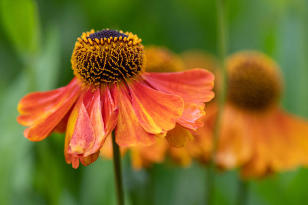 Happy Helenium (Ref: 3628)