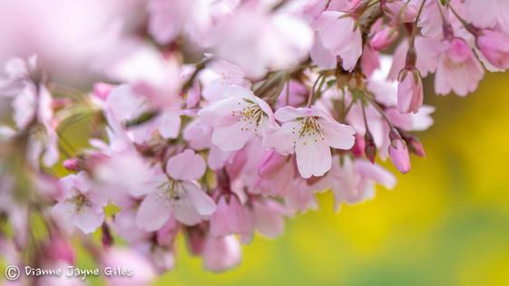 Dreamy Blossom (Ref: 3691)