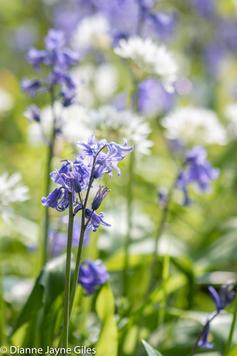 Bluebells & Wild Garlic (Ref: 5416)