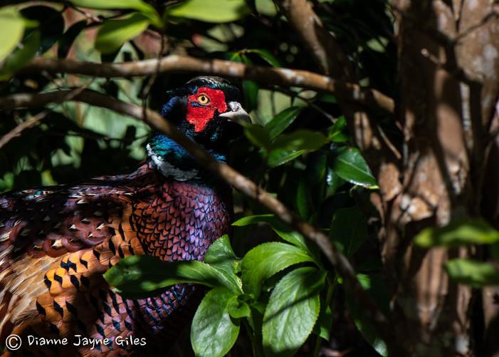 Secretive Pheasant (Ref_ 6269)