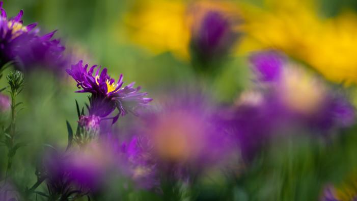 Cornflower (Ref: 9441)