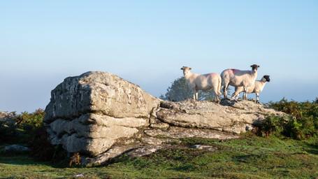Rock Hopping Sheep (Ref: 5030)