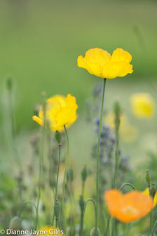 Wildside Poppy