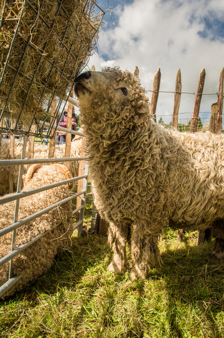 Greyface Dartmoor
