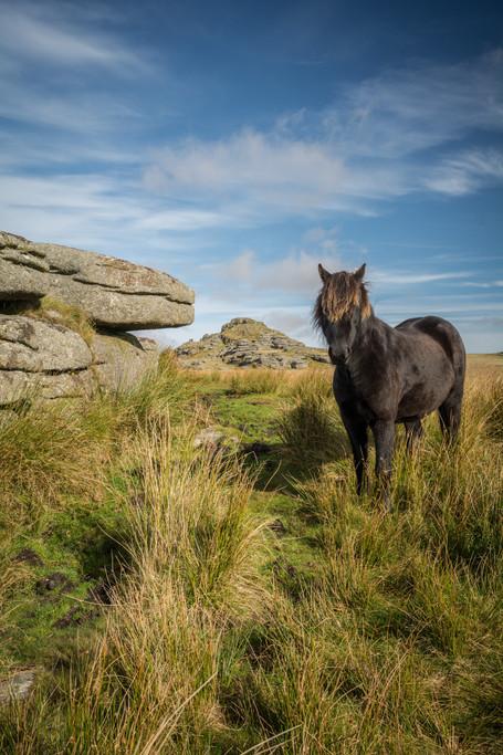 Longaford Tor Pony - Portrait