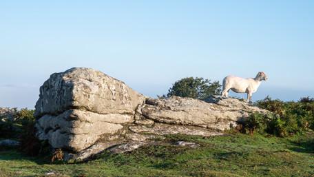 Sunbathing Sheep (Ref: 5035)