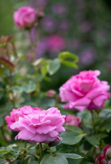 Roses at Rosemoor (Ref 2220)