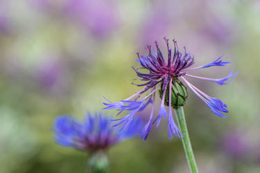 Centaurea (Ref: 9482)