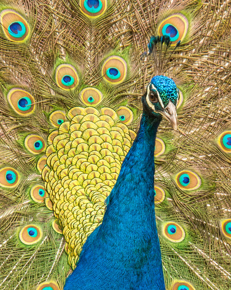 Dartmeet Peacock - Portrait