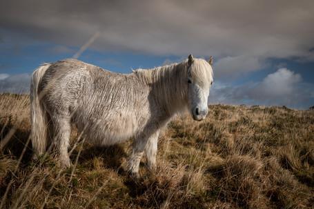 Heckwood Tor Pony