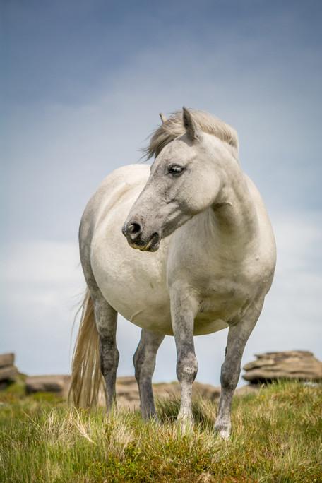 Belstone Pony