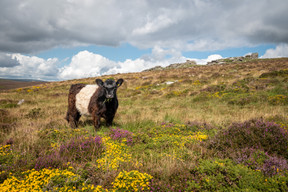 Heather, Gorse and a Belted Galloway (Ref: 4600)