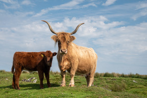 Highland and Calf (Ref: 4858)