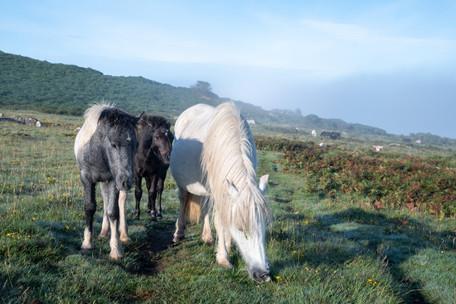 Pew Tor Ponies in the Mist (Ref: 5083)