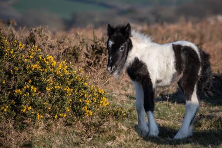 DSC_Pew Tor Foal (Ref: 6963)