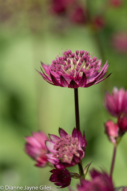 Dark Red Astrantia