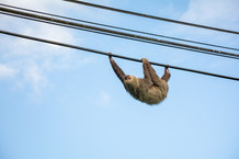 Sloth on the Wire